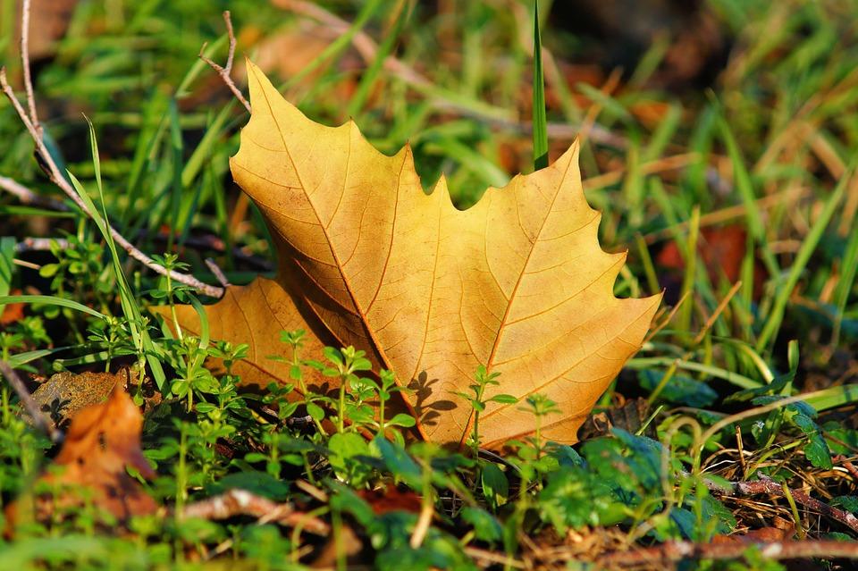 maple-leaf-567986_960_720