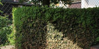 Živý plot ze zimostrázu napadený zavíječem zimostrázovým